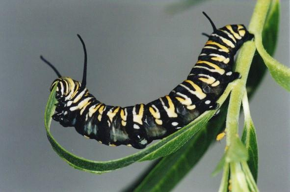 how to humanely kill a caterpillars